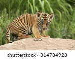 Stock photo sumatran tiger 314784923