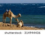 camels 'parked' on the beach at ... | Shutterstock . vector #314944436