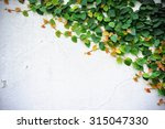 the green creeper plant on wall    Shutterstock . vector #315047330