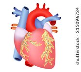 the anatomical structure of... | Shutterstock .eps vector #315096734