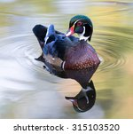 Male Wood Duck Drake Swimming