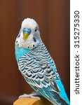 the male budgie sitting on a... | Shutterstock . vector #315275330