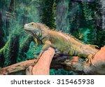 Green Iguana On A Tree. Focus...