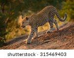 leopard cub walking down rocks... | Shutterstock . vector #315469403