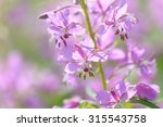 Pink Flowers Of Fireweed ...