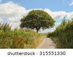 Oak Tree  Quercus  On A Rural...