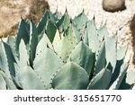 Small photo of Agave parryi var. huachucensis, Laksmi, Asparagaceae, Mexico