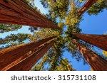 giant tree closeup in sequoia... | Shutterstock . vector #315731108