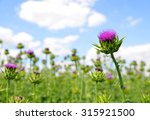 Field With Silybum Marianum ...