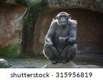 Chimpanzee Monkey Sitting On A...