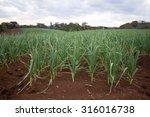 Garlic Plantation On Red Soil