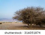 Small photo of Acacia tortilis, Negev