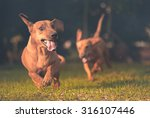 Dogs Playing And Running In Th...