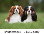 Two Purebred Cavalier King...