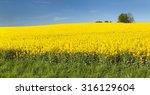 Golden Field Of Flowering...