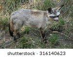 bat eared fox  otocyon... | Shutterstock . vector #316140623
