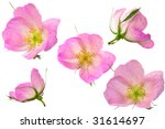 design from pink flowers | Shutterstock . vector #31614697