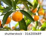 ripe tangerines in the green... | Shutterstock . vector #316200689