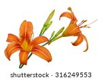 Small photo of Orange Day Lily flower or Tiger Daylily, Fulvous Daylily, Ditch Lily, Railroad Daylily, Tiger Lily