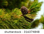 Pine Cones On A Branch. Photo...