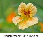 Nasturtium In Flower Bed  In...