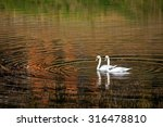 Stock photo two swans glide across lake with autumn forest reflection at sunset 316478810