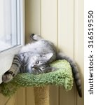 sleepy cat in a balcony. funny... | Shutterstock . vector #316519550
