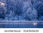 Swans At Sunrise On Winter Lake