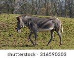 Strolling Zebra. A Beautiful...