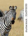 Zebra On Grassland In Africa ...