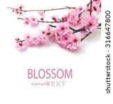 Plum Flowers Blossom On White...