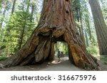 Man standing looking at giant big Red Wood tree in Calaveras big trees state national park in California, US - stock photo
