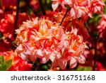 Rhododendron And Azalea In The...