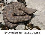 female horned viper  vipera... | Shutterstock . vector #316824356