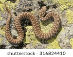 european adder  vipera berus  ... | Shutterstock . vector #316824410