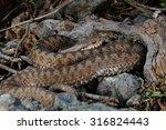 european adder  vipera berus ... | Shutterstock . vector #316824443