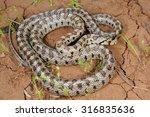 wild leopard snake  zamenis... | Shutterstock . vector #316835636