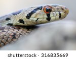 wild leopard snake  zamenis... | Shutterstock . vector #316835669