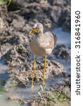 Small photo of An African wattled lapwing with a red, white and yellow head, brown feathers and yellow legs is wading in the muddy shallows of a stream with tufts of grass in the foreground.