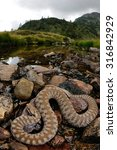 european adder  vipera berus ... | Shutterstock . vector #316842929