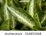Small photo of Chinese evergreens with white stripe leaves(Aglaonema commutatum)