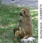 Small photo of The funny baboon is looking afield while sitting on the rock