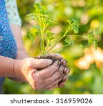 old woman holding young green...   Shutterstock . vector #316959026