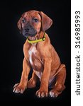 drawing dog rhodesian ridgeback ... | Shutterstock . vector #316985993