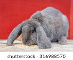 Lop Rabbit Blue Gray Sitting O...
