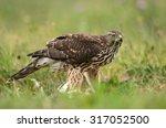 Young Sparrow Hawk  Accipiter...