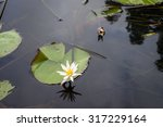 Bentota River. Water Lily  Lil...