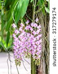 Small photo of Aerides Lawrenceae, beautiful pink orchid flowers.