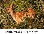 nyala baby   Shutterstock . vector #31745794