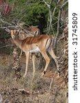 impala | Shutterstock . vector #31745809